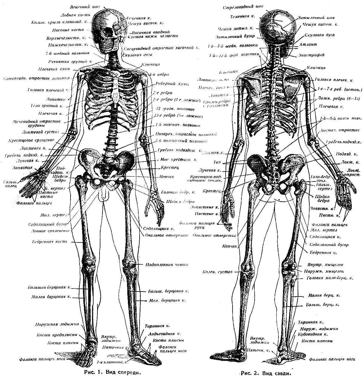 схема сухожилий человека