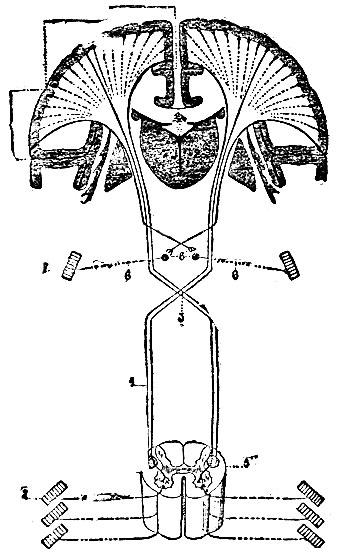 - Схема двигательного пирамидного пути: 1 - мозговая кора; 2 - зрительный бугор; 3 - перекрест пирамид; 4...